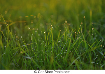 Dewdrops - Dew drops on fresh green grass on the evenings...