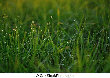 Dewdrops. - Dew drops on fresh green grass on the evenings...