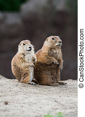 Two prairie dogs looking around. These animals native to the...