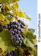 Ripe bunch of grapes.