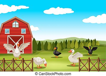 Farmland - Geese living in the farmland