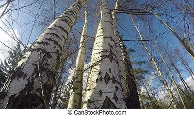 storm wind in spring birch forest