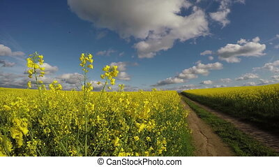 beautiful rapeseed field and road