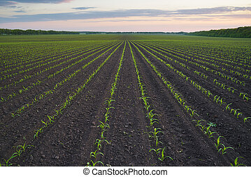 Landscape with field - Corn field. The lines in nature....