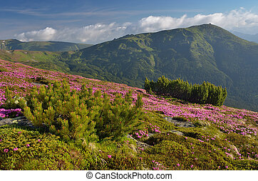 Flowers in the mountains - Blossoming rhododendron in...