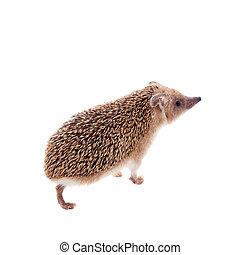 Long-eared hedgehog on white - Long-eared hedgehog,...