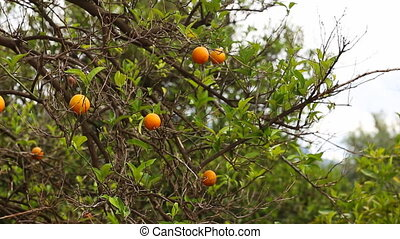 Close up of orange trees in the garden, selective focus -...