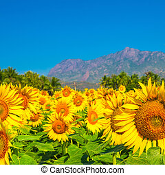 Beautiful blooming field of sunflower background with blue...