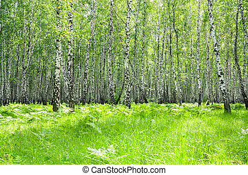 summer  landscape with the birch forest and the sun