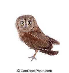 The European scops owl on white - The European scops owl,...