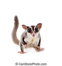 Sugar glider, Petaurus breviceps, on white - Sugar glider,...