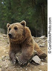 Brown bear with open mouth portrait