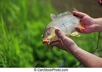 Carp fish in the hands of fisherman outdoor, closeup view