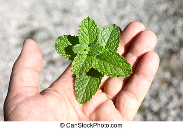 fresh spearmint - close-up of hand holding fresh spearmint...