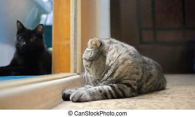 Scottish Fold cat is ill - Scottish Fold cat is sick and sad...