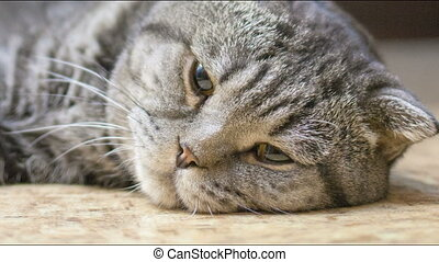 Scottish Fold cat is ill. - Scottish Fold cat is sick and...