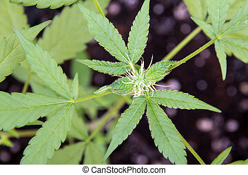 medical marijuana plant bud closeup - medical marijuana...