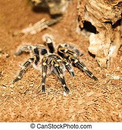 Tarantula Acanthoscurria geniculata in a terrarium closeup