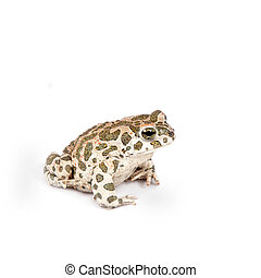 The Egyptian green toad on white - The Egyptian green toad,...