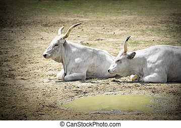 White bufallo - Two white buffalo lying on the ground