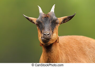 portrait of cute brown goat