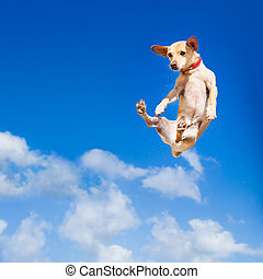 dog jumping - chihuahua dog flying and jumping in the air ,...