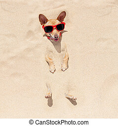 dog buried in sand - chihuahua dog buried in the sand at the...