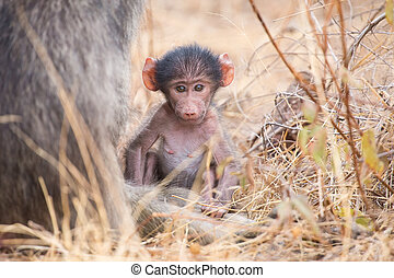 Baby baboon close to mother in grass for safety - Baby...