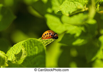 Colorado potato - Colorado potato beetle larva on green...