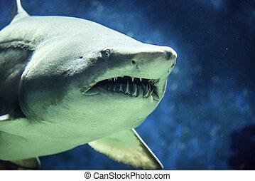 Shark., ,