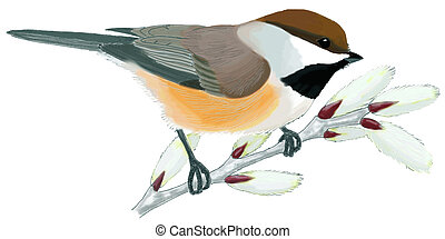 Boreal Chickadee on willow - Poecile hudsonicus