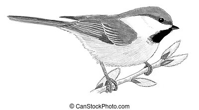 Gray-headed Chickadee on willow - Poecile cinctus