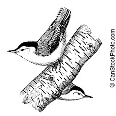 White-breasted Nuthatch pair - Sitta carolinensis