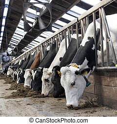 long row of cows sticking their heads out bars to feed -...