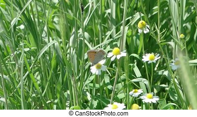 Butterfly on the camomilla flower in summer grass