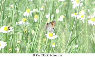 Butterfly on the camomilla flower in summer day