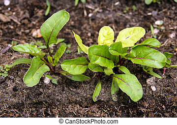 swiss chard sprout in garden - swiss chard sprout in...