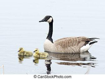 Canada Goose Goslings - Three Canada goose goslings sitting...