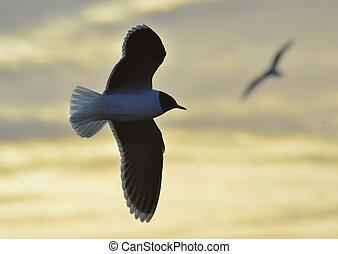 A flying Little Gull Larus minutus Backlight Single gull...