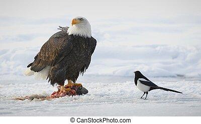 The Bald eagle  ( Haliaeetus leucocephalus )