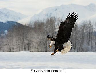 The Bald eagle landed - The Bald eagle lands on the...