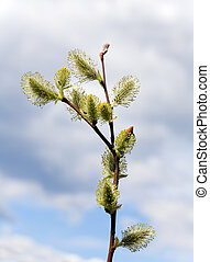 Spring willow twig on sky background