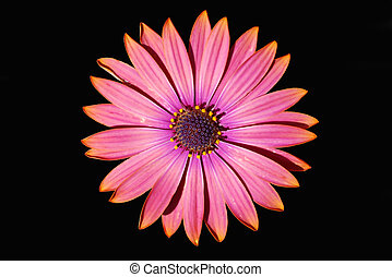 African Daisy isolated on black - Osteospermum (African...