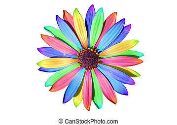 African Daisy on white - Osteospermum African daisy isolated...