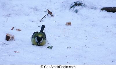 Great Tit Bird (Parus major) Eating in Winter Forest -...
