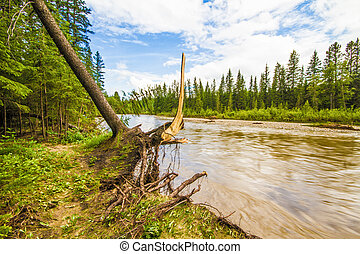 Uprooted Tree - Uprooted tree beside Fish Creek after the...