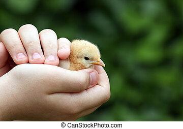 cute little chicken in child hand