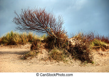 Windswept tree - A windswept tree, growing in the sand...