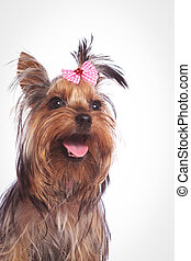 yorkshire terrier puppy dog looking up with mouth open