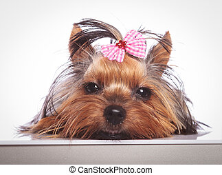 sleepy little yorkshire terrier puppy dog is lying down